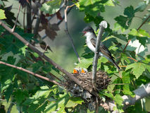 Eastern Kingbird with chicks in nest Royalty Free Stock Photo