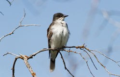 Eastern Kingbird Stock Photo