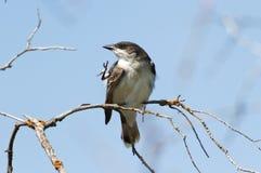 Eastern Kingbird Stock Photography