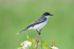 Eastern Kingbird. Gathering nesting materials royalty free stock photo