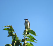 Eastern Kingbird high in a tree Stock Image