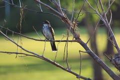 Eastern Kingbird Juvenile Stock Images