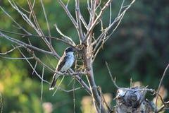 Eastern Kingbird Juvenile Royalty Free Stock Photography