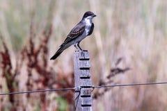 Eastern Kingbird Stock Photo