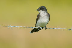 Eastern Kingbird Stock Photography