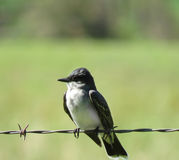 Eastern Kingbird perched on barbed wire in summer Stock Photo