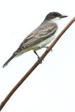 Eastern Kingbird. Perched on a branch Royalty Free Stock Photography
