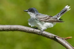 Eastern Kingbird Royalty Free Stock Images