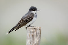 Eastern Kingbird perched on wood pole Royalty Free Stock Photos