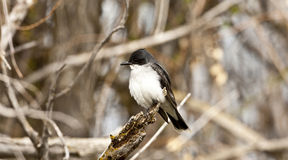 Eastern Kingbird. Royalty Free Stock Photo