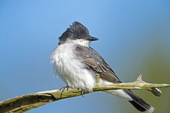 Eastern Kingbird Royalty Free Stock Photo