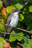 Eastern Kingbird. Standing on a branch Royalty Free Stock Photo