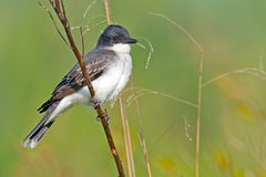 Eastern Kingbird. Standing on a branch with deep green background Stock Photo