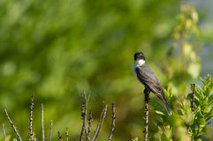 Eastern Kingbird stare Stock Image