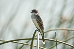 Eastern Kingbird Stock Image