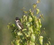 Eastern Kingbird in tree Stock Photo
