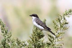 Eastern Kingbird (Tyrannus) Stock Image
