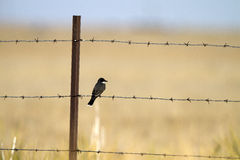 Eastern Kingbird, Tyrannus tyrannus Stock Photos