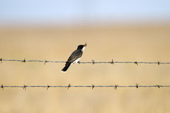 Eastern Kingbird, Tyrannus tyrannus Stock Image