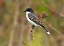 Eastern Kingbird,Tyrannus tyrannus. Closeup of a gray and white songbird perched on branch during spring migration,Ontario,Canada Stock Images