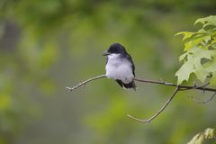Eastern Kingbird (Tyrannus tyrannus) Royalty Free Stock Photos
