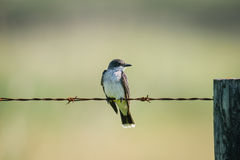 Eastern Kingbird (Tyrannus tyrannus) Royalty Free Stock Photo