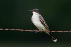 Eastern Kingbird (Tyrannus tyrannus) Stock Images