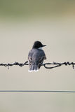 Eastern Kingbird (Tyrannus tyrannus) Stock Images