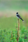 Eastern Kingbird (Tyrannus tyrannus) Stock Photos
