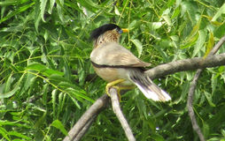 Eastern kingbird Royalty Free Stock Photos