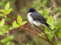 Eastern Kingbird (Tyrannus tyrannus). A migratory bird,Eastern Kingbird,perching on Red Osier Dogwood shrub in spring,Ontario,Canada Royalty Free Stock Image