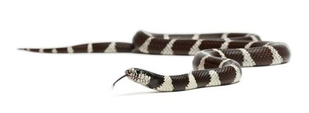 Eastern Kingsnake Or Common Kingsnake, Lampropeltis Getula Californiae Stock Image