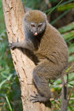 Eastern Lesser Bamboo Lemur. Wild Eastern Lesser Bamboo Lemur in Madagascar Royalty Free Stock Photography