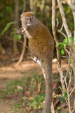 Eastern Lesser Bamboo Lemur. Wild Eastern Lesser Bamboo Lemur in Madagascar Stock Image
