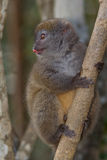 Eastern Lesser Bamboo Lemur. Wild Eastern Lesser Bamboo Lemur in Madagascar Royalty Free Stock Photos