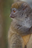 Eastern Lesser Bamboo Lemur Royalty Free Stock Photos