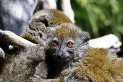 Eastern lesser bamboo lemur (Hapalemur griseus) Stock Photo