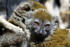 Eastern lesser bamboo lemur (Hapalemur griseus) Stock Image