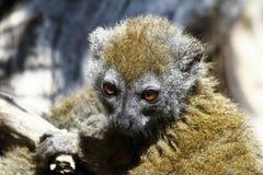 Eastern lesser bamboo lemur (Hapalemur griseus) Stock Photography