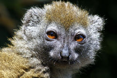 Eastern lesser bamboo lemur (Hapalemur griseus) Royalty Free Stock Photo