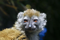 Eastern lesser bamboo lemur (Hapalemur griseus) Stock Photos