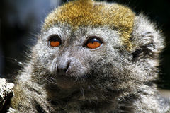 Eastern lesser bamboo lemur (Hapalemur griseus) Royalty Free Stock Photography