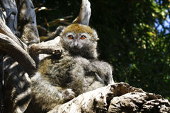 Eastern lesser bamboo lemur (Hapalemur griseus) Stock Images