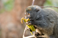 Eastern lesser bamboo lemur Hapalemur griseus Royalty Free Stock Image