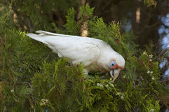 The Eastern Long-billed Corella Royalty Free Stock Photography