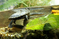 Eastern Long-Necked Turtle Royalty Free Stock Images