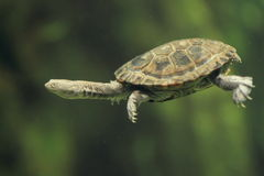Eastern long-necked turtle. The swimming eastern long-necked turtle Royalty Free Stock Photography