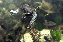 Eastern long-necked turtle Stock Photo
