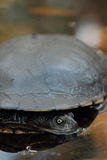 Eastern long-necked turtle (Chelodina longicollis). Shy eastern long-necked turtle (Chelodina longicollis) at the waters edge Stock Photos