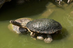Eastern long-necked turtle. Sunning on rocks. Australian reptile Royalty Free Stock Photography